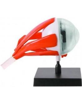 Анатомический набор Ein-O Глаз (E2370EE) - MD E2370EE