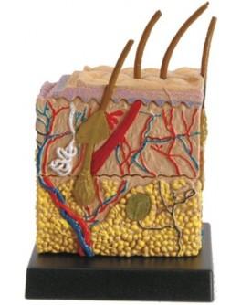 Анатомическая модель Ein-O Кожа человека (E2370SN)