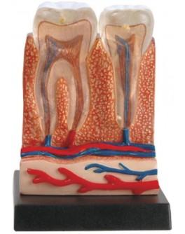 Анатомический набор Ein-O Зубы и десны (E2370TG) - MD E2370TG